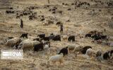 تلاش دولت برای خرید تضمینی دام مازاد عشایر در کهگیلویه و بویراحمد